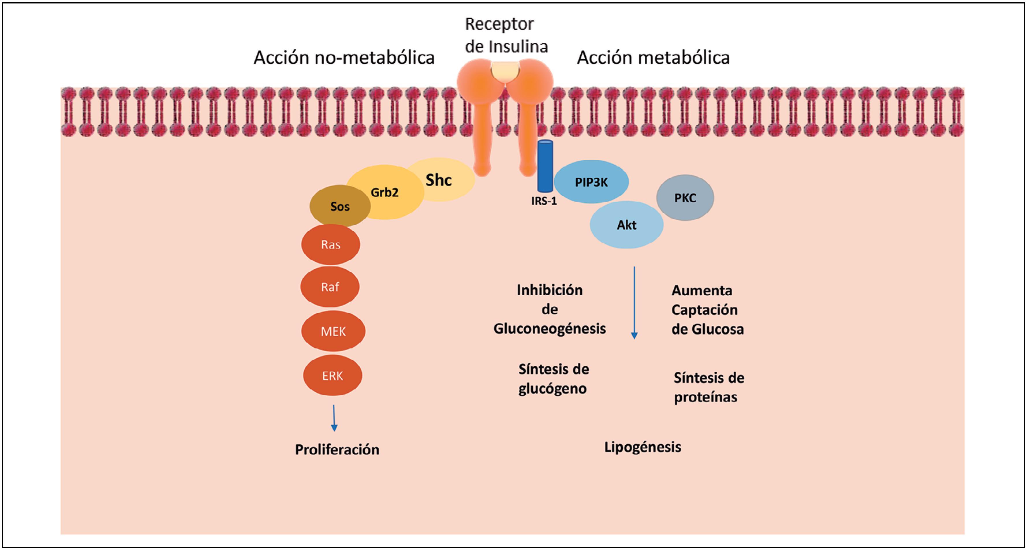 vías de señalización celular en diabetes